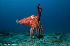 Actually a mollusk, not a fish as its name implies, the cuttlefish can change color rapidly.