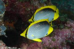 Butterflyfish are the fish-watcher's dream. They're colorful, are often found in pairs, are found in countless varieties and can be seen in most tropical oceans.